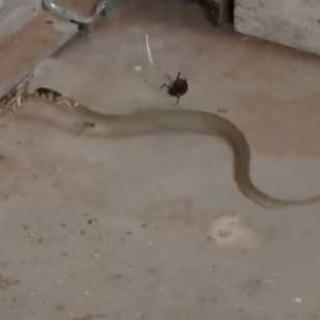 spiderdnake