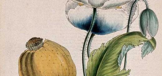 опиум цветок